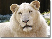 What is the meaning of the appearance of white lions in this